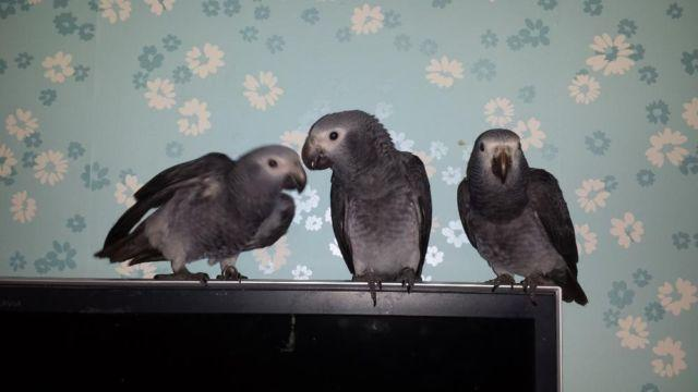 Timneh African grey Baby