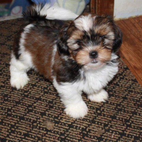 Tiny Teacup Shorkie Puppies for sale in Morehead, Kentucky