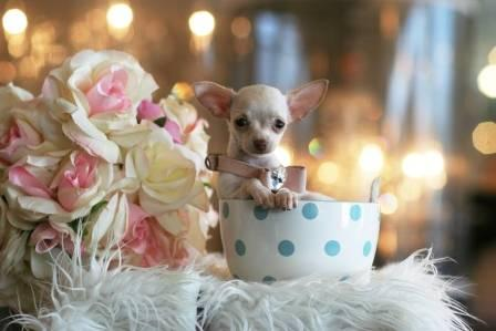 Tiny Toy Chihuahua Puppies for sale in Anderson, South
