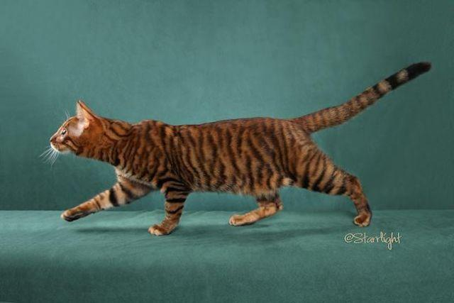 Toyger Kittens - Rarest Cats in the World for sale in