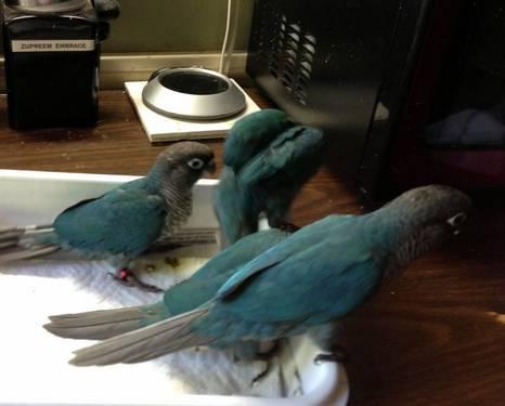 Turquoise & Cinnamon Turquoise Green Cheek Conure Babies