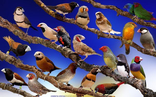 want free society finches or free zebra finches near san diego zoo