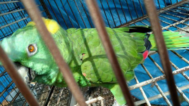 Wanted: breeder male amazon double yellowheaded parrot