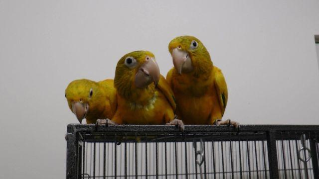 WANTED: GOLDEN CONURES