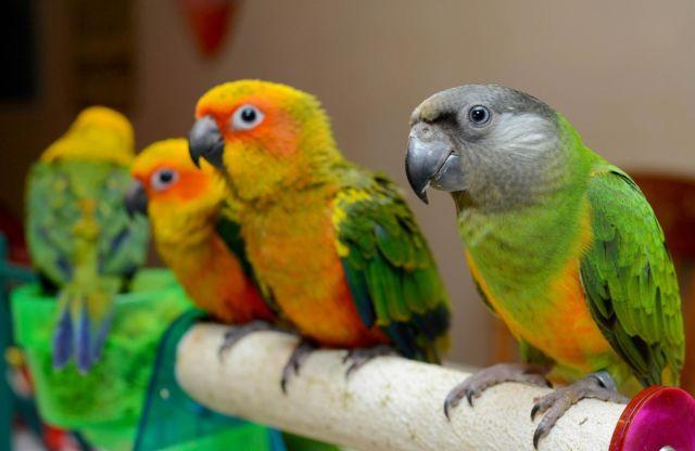 We have Sun conures babies!