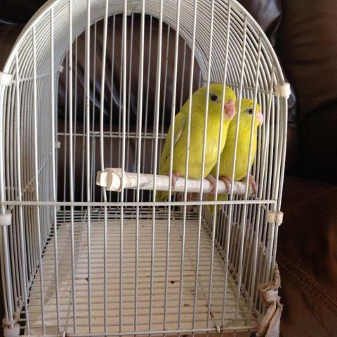 Yellow babies Parrotlets