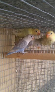Yellow Face Fischer Lovebird