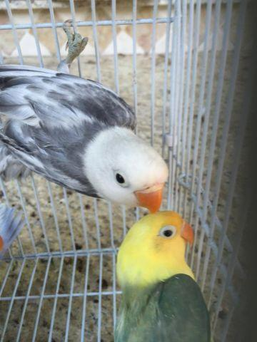 Yellow head sables and White head sables for sale in lots
