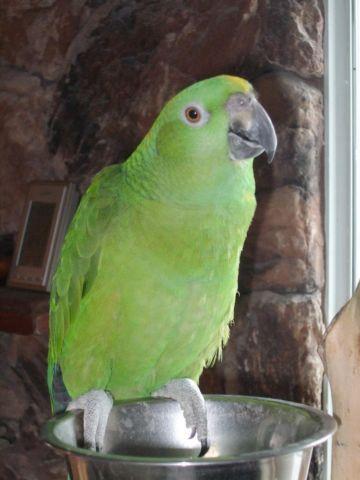 Yellow Naped Amazon Parrot plus cage