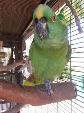 Yellow Naped Amazon parrot with play station for sale