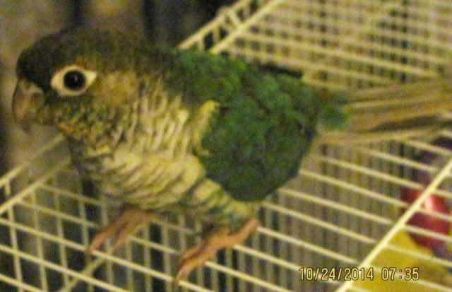 Yellow Sided Green Cheeck Babies & RARE TURQUOISE Adult Female