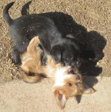 Yorkie Japanese Chin Puppies For Sale In Tucson Arizona Animals