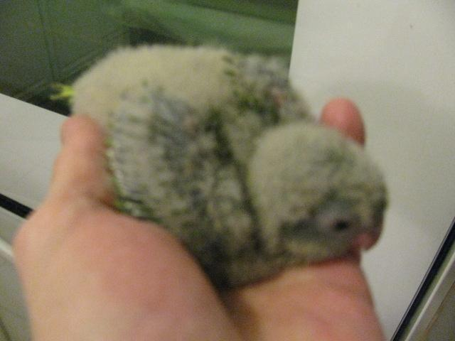 Young Amazon Parrot With Cage