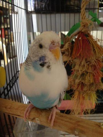 Young Turquoise Pied Female Budgie