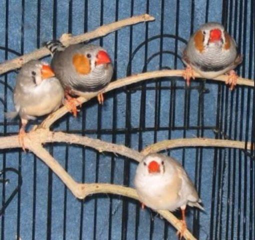 Zebra finch and society finch with cage
