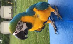"""Unable to care for 10 month old blue and gold macaw. Unfortunately, I have to find him a good home due to a """"no animals allowed"""" rule in my new building. The White cage i'm selling for $300 which includes any food/ accessories I still have. Shy baby just"""