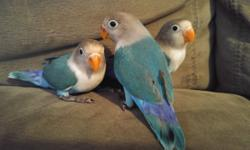 I have three 10 week old, sweet and cuddly Fischer's Lovebirds for sale. $100 each