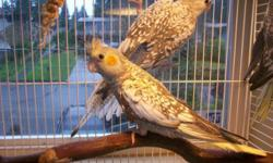 I have a 10 week old DNA'd male Normal Pearl Cockatiel, very sweet and just weaned. Handfed, was weaned onto Zupreem Pellets and Safflower based cockatiel seed. He is a good talker and singer. He will come with hatch certificate, you can also find info on