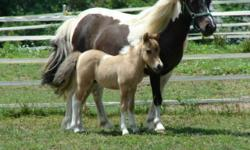 Offered for your consideration Color's Painted Mistic Zipper a 9 year old, 33?, AMHR registered, bred homozygous pinto with excellent pedigree. Zipper has a 12 generation pedigree including many well known show horses. Her pedigree includes: Boones Little