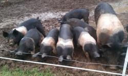 I have 12 pastured Hampshire pigs , 6 Gilts and 6 barrows. There teeth been clipped and castrated. They have been wormed .
