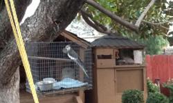 $40 or trade for lutono Bourkys parakeet