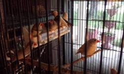 I have a flight cage with 16 finch some are 1 1/2 yrs old others are younger just hatched fall of '12. Almost all of the young are a mix of white zebra finch and zebra finch. There is a crested offspring as well. They all are very lively. Their cage is