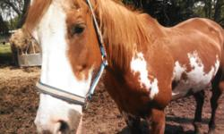 16 yr old register paint gelding for sale 1,500. he was brought from Montana. he is a real sweet heart. he trail rides for any kind of rider. traffic safe and sound. doesn't spook, easy to shoe, load and haul. very good for vet and being wormed. he would