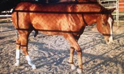 17. Yr old AQHA gelding. Drop dead gorgeous/handsome. Great trail horse, started on barrel pattern, has done some cattle work several years ago. 15.1 hands, chestnut w/ white socks. Super fancy looking. Shines like a brand new copper penny in the summer.