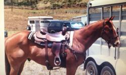 18 yr old AQHA gelding. Trained in cutting by Blue Thompson, we have used him for team penning and sorting, started loping barrel pattern on him. He is running nice pattern just needs finished. Needs experienced rider because he is lightening quick and