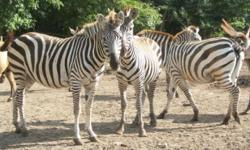 Grants Zebra Herd 1.5 1 stallion / 5 mares All under 9 years old Some still pregnant for 2014 foals All are good-looking and fat Some tame enough to pet Pastured with all species of animals Current pictures available $6000.00 each across the board Will