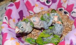 The baby is almost ready to go, it is weaning now. It has not been DNA'd, but this can be done for you. The cost is $25.00 for the test. The baby is being weaned onto Zupreem Cockatiel Pellets, Higgins Vita Parrot seed and lots of fruits and veggies. Very