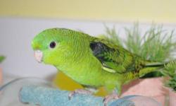 1 male Budgie Parakeet (green/yellow), 1 male Parakeet (green/yellow), 1 female parakeet (white/blue) Cage is included. $100.00