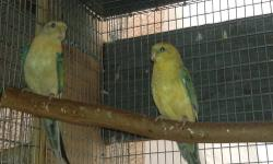 1 pair of red rump 1 year old female opaline male yellow and 1 female 5 month old opaline for sale or trade looking for lady gouldians thankyou please call 310-844-5287