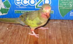 leave your phone # so i can give you price. 1 baby normal split to blue male, dna too(blue 1 sold) very cute & friendly. can be taught to talk. all babies are hand fed & tame, close banded, written health warrenty, after care also available. also boarding