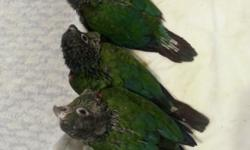 I have 1 proven pairs of crimson belled conures for sale. They are 3 years old. They usually 2 or 3 clutches a year. $800 for each pair If you are interested, please let me know at 270-352-1004 or 201-280-6643(cell) I live in Radcliff, KY