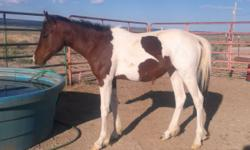 Bailarin Del Sabio is a late May 2013 filly. Friendly and willing. She is a gorgeous blood bay tobiano, very types with a lot of action in her movement and very quick. She should mature about 14hh. Dam was a trail and pleasure horse. Sire is a producer of