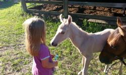 I have a 2013 filly, palomino or dunalino. born fathers day 6/16/13 sire is http://www.allbreedpedigree.com/twisters+blue+champ dam is http://www.allbreedpedigree.com/hickoks+cee+dee will be able to leave mother at 4 months. will take down payment or full