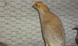 For sale a 2014 hatch Male Drouyni White Eared Pheasant . He is from my breeding stock. Hen died over the winter. Bird is now ready for shipping, provided weather is permitting. He is healthy and in excellent condition with no defects. Shipping Only...
