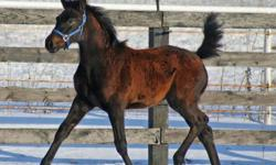 Sabine is an absolutely stunning chocolate colored black bay filly who is well handled and very friendly. She has just been weaned and is ready to go to her new home. Sabine is halter broke, leading well and stands great for vet/farrier. Sabine loves to
