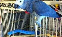 1 congo grey 1 1/2 yrs.old super good talker. 1 timneh grey about 13 yrs.old both birds were handfed but haven't been handled in a while . $750.EACH to experience bird lover. Can meet part way if interested.