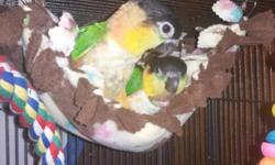 I have two very sweet baby Black Headed Caiques for sale. They should be weaned in about a 1 1/2 months. I hand feed all of my babies from the day they hatch. They are well socialized and very fun! I have 1 boy and 1 female currently. I'm asking $850 a