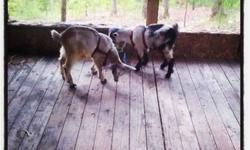 I have 2 male (not fixed) male Pygmy goats for sale. They were bottle raised and are very tame. They are twins but one is brown and white and the other is black and white. They are super sweet and love attention. We are due to have a baby this Sunday and