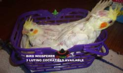 2 Beautiful Albino and Lutino Cockatiels Available. These babies are $150.00 each! We only have 2 of these babies so they will go fast! $25.00 deposit will hold your sweet baby bird! Contact me for more information! https://www.facebook.com/PoconoAna