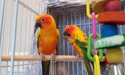 Looking to re-home 2 beautiful Sun Conures named Bonnie and Clyde, however the specific age and gender are unknown. Personality wise, Clyde is more adventurous and is usually the first one out of the cage. He will make ?kissing? noises and likes to show