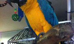 I got 2 blue an gold macaws $950. for both the need work not very friendly no cage . macaws only call or text anytime