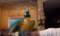 We have two blue/gold macaw,tame comes wih their own cages,one we are asking $500. for he is a young one who has being pick on from the 2 females ,heis just 2years and his feathers are coming back in,he cmes with his cage and the last one is a female and