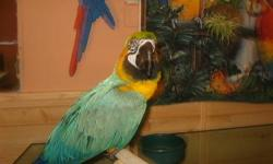 we have wo blue/gold maccaws for sell one is $500. he is young,his feathers are grwing back he is tame come with a cage,the other one is beauitful her feahers are great no picking,sh is tame and comes with a nicebig macaw cage we are selling he for $600.
