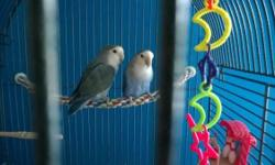 """2 Lovebirds (not exactly sure what type) with 20"""" x 20"""" x 62"""" Cage. The Cage is in very good condition, no rust or any defects. This pair of lovebirds is a breeding pair, which means the female very well may lay eggs. Included is all toys shown in picture"""