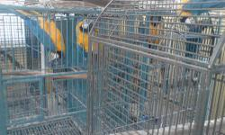 I HAVE TWO BLUE GOLD MACAW BIRD WITH CACES. BOTH ARE MALE I WAS 1200.00.00EACH OR BEST OFFER. THERE ABOUT 12 YEAR OLD