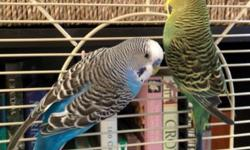 I am looking for a new home for my 2 budgerigar parakeets. I believe they are both males but I could be wrong. They come with their cage, supplies, and food. If you have any questions feel free to contact me.